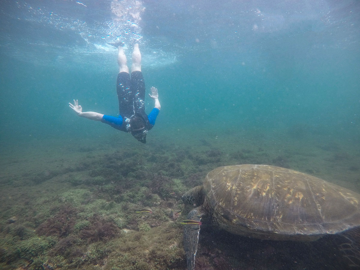 Person diving towards a giant sea turtle resting in a shallow area in the Galapagos Islands.