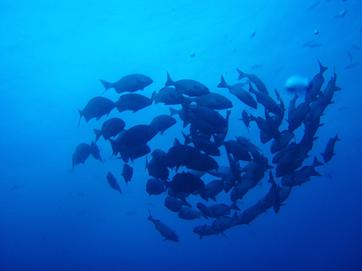 Group of fish swimming together in a circle in the blue waters of the Galapagos Islands.
