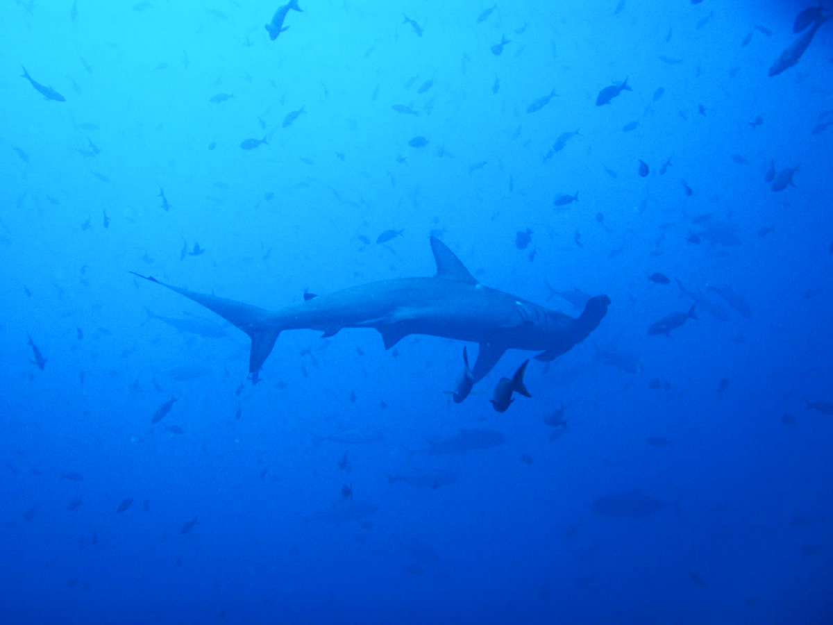 A hammerhead shark in the Galapagos Islands, a sighting for lucky scuba divers in the Galapagos.