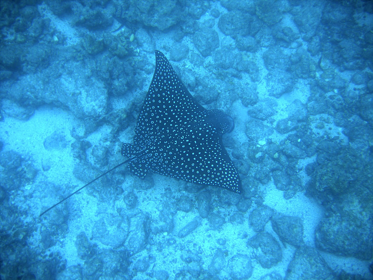 An eagle ray with white spots soaring in the depths near the ocean floor of the Galapagos Islands.