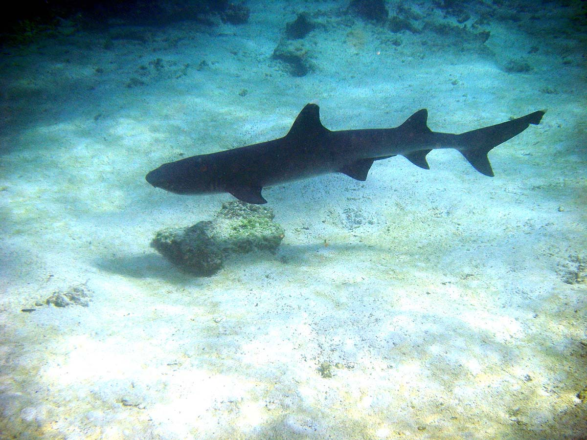 A reef shark, active year round, floating over the illuminated, sandy ocean floor in the Galapagos.
