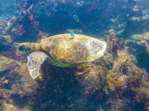 Sea turtles, fish, colorful coral and more can be spotted when scuba diving Galapagos Islands and its protected waters.
