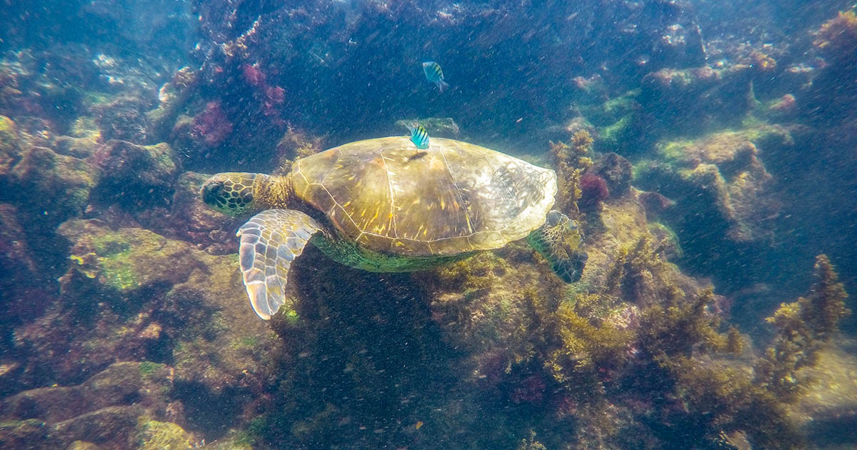 Spot sea turtles, fish, colorful coral and more when scuba diving in the Galapagos.
