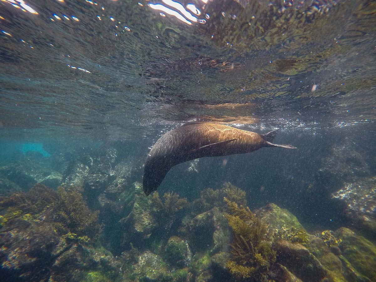 A sea lion plays near the water's surface off the Galapagos Islands, a common sighting for divers.