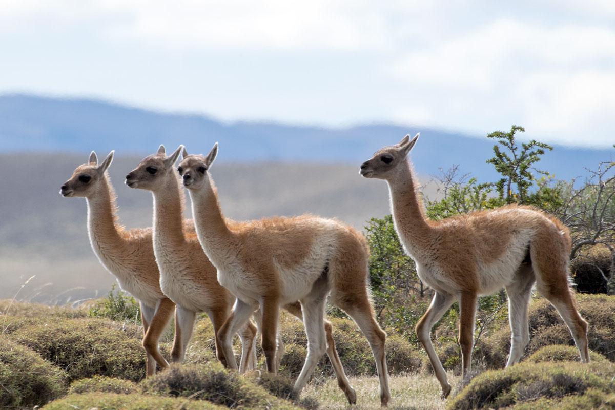 Four guanacos wander across a plain in Tierra del Fuego.