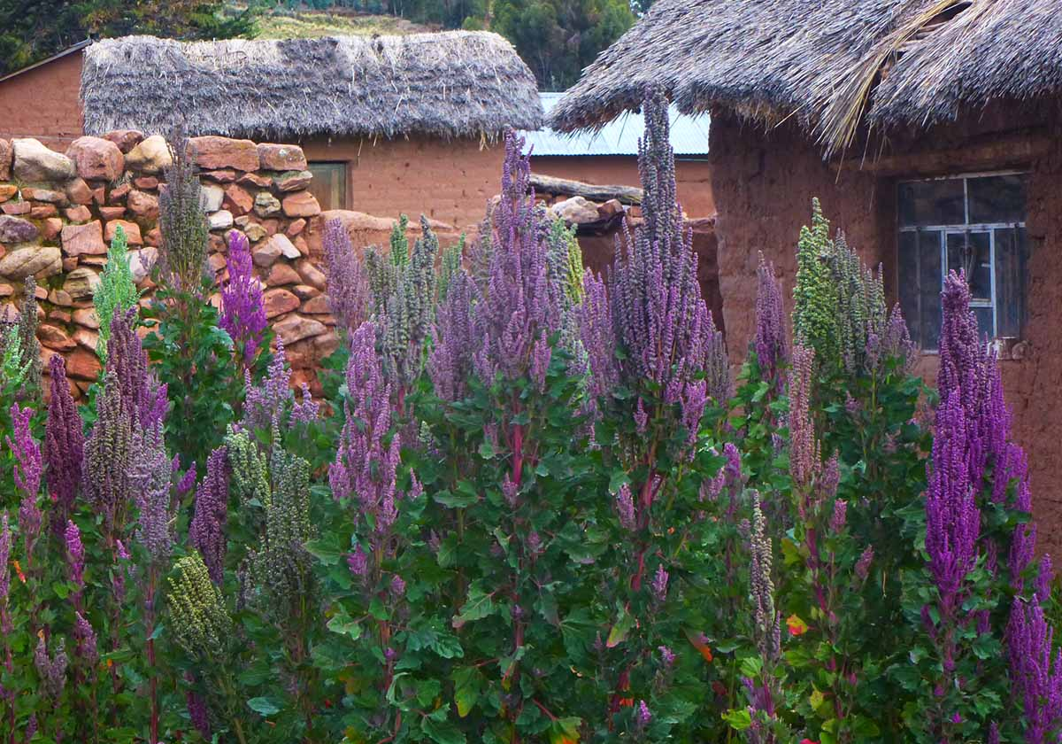 Quinoa plants with purple seeds growing in front of houses with thatched roofs.