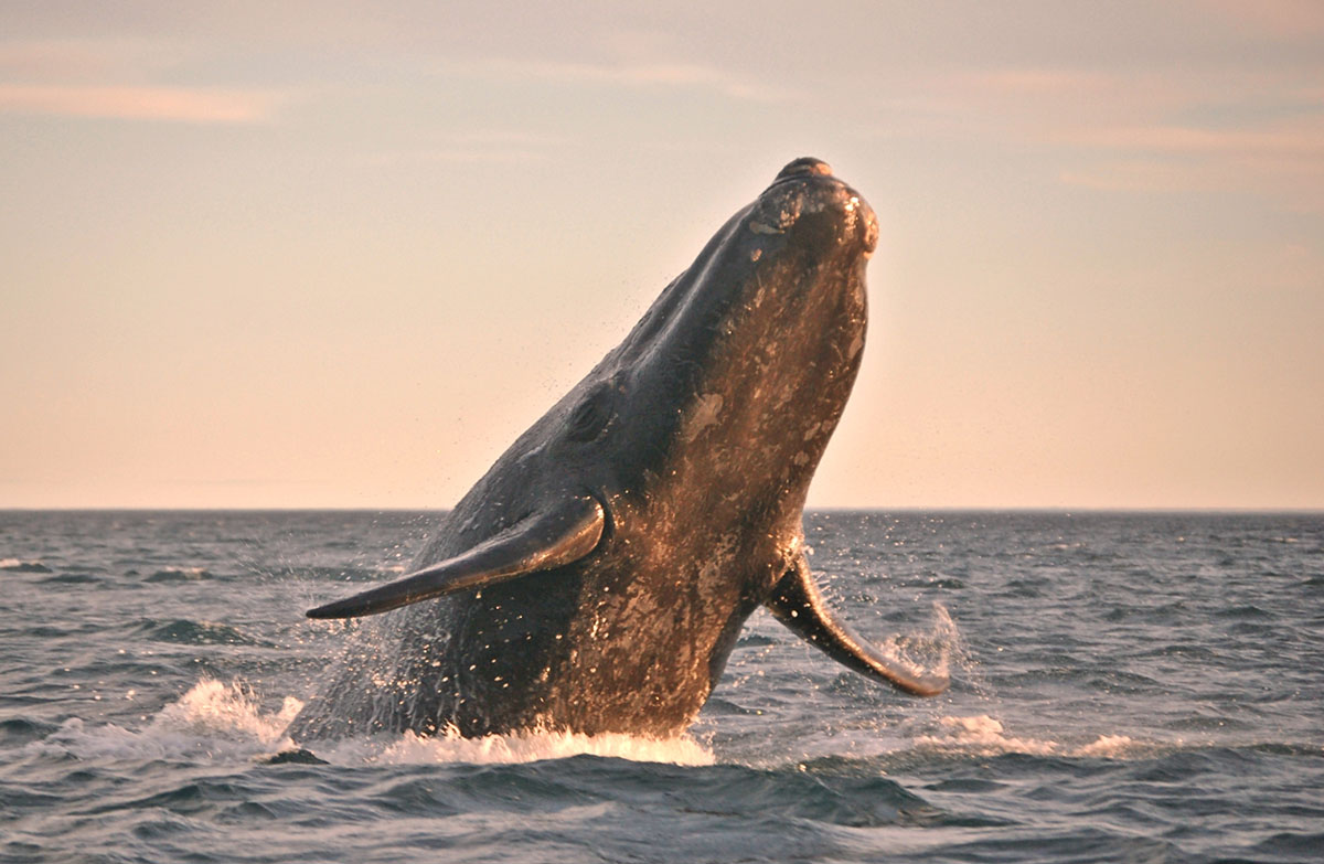 A right whale breaches in the muted colors of sunset.