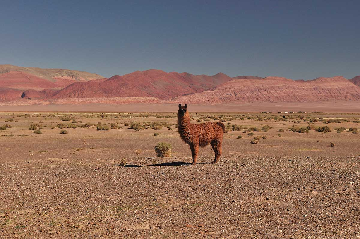 Desert landscape with solitary alpaca roaming at Antofagasta de la Sierra, one of the most unique places to visit in Argentina.