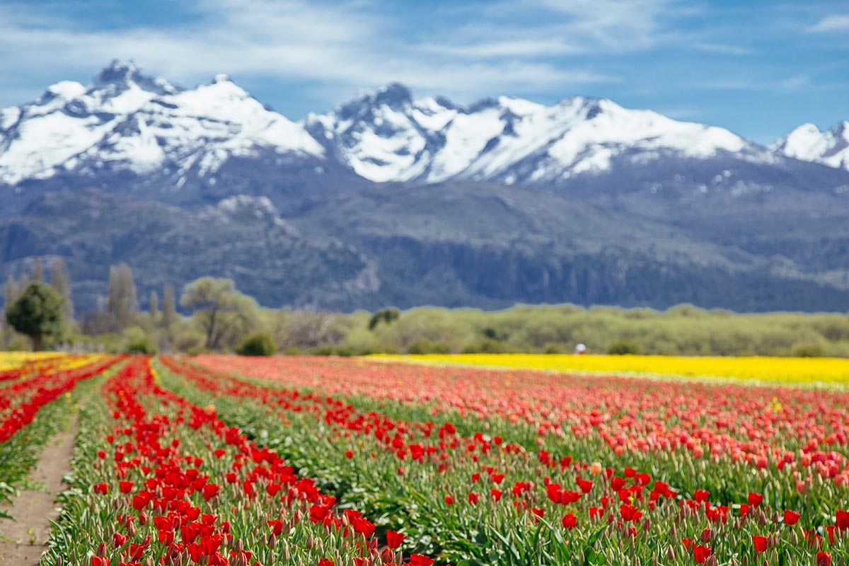The red, orange and yellow flowers growing in a giant field with mountains surrounding in Trevelin, Argentina.