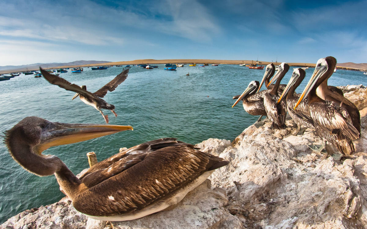 Pelicans on the rocks and flying over the bay in Paracas, a popular spot in Peru's coastal desert.