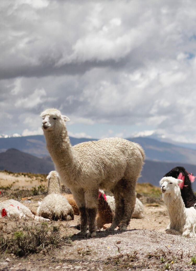Furry llamas at Colca Canyon in Arequipa, Peru