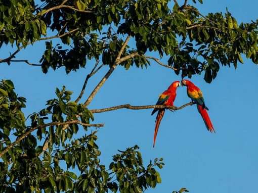 Two macaws on a branch in the Amazon Rainforest