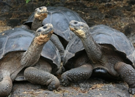 Galapagos giant tortoises looking at each other
