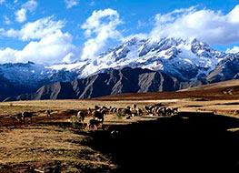Herd of grazing llamas along the Huchuy Qosqo trek