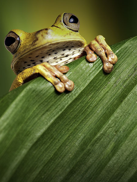 A small green frog with big eyes peering over a leaf in the Peruvian Amazon Rainforest.