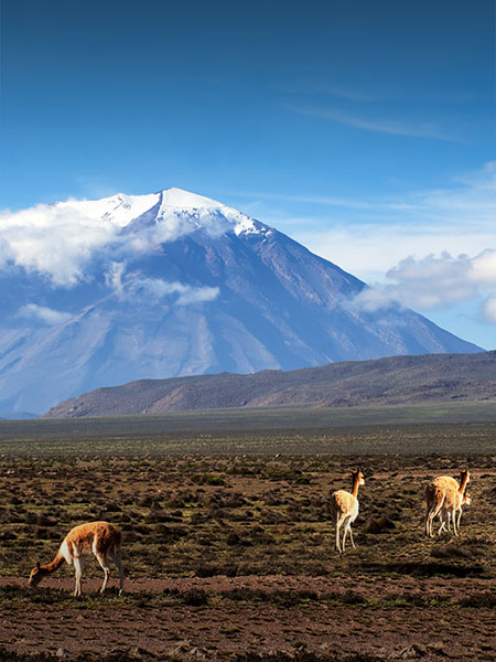 Vicuñas grazing in a field overlooked by a snow-capped volcano at a natural reserve in Arequipa.