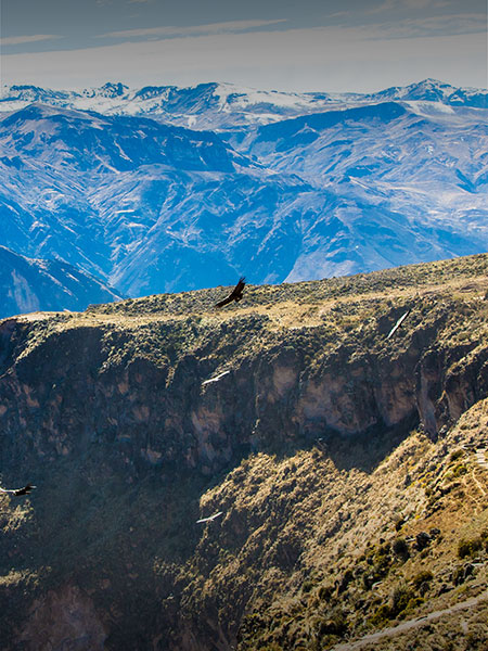 An Andean condor flying past a cliff in Colca Canyon, the second deepest canyon in the world.