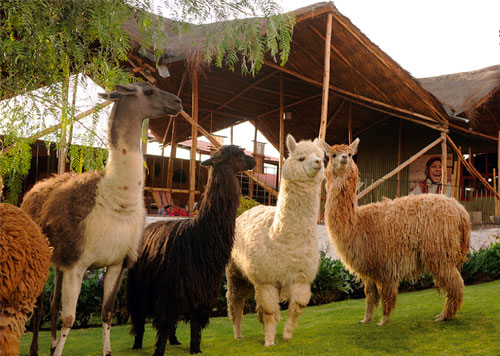 Mundo Alpaca in Arequipa, where you can find alpaca scarves, sweaters, and gloves for sale and meet the fluffy residents