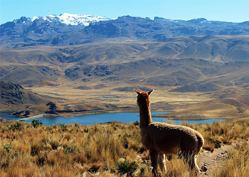 Vicuna looking upon the Aguada Blanca National Reserve, a stunning natural area with volcanoes, lagoons, and unique plants