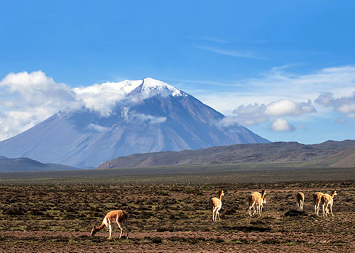 Wild Vicunas Grazing with Volcano Misti, an amazing landscape that hikers see on the popular volcano trek in Arequipa