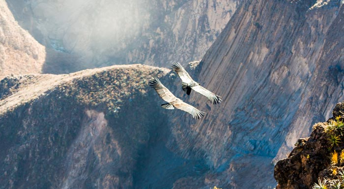 A pair of Andean condors soaring through Colca Canyon, the second deepest canyon in the world.