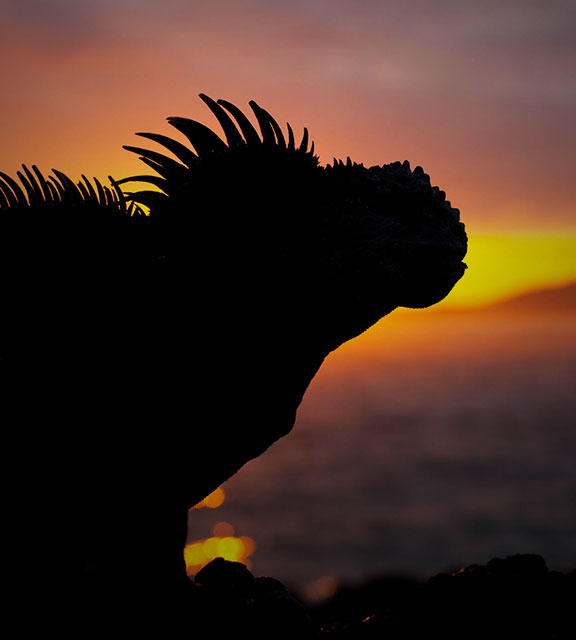 The silhouette of a Galapagos marine iguana seen against a multi-colored sunset sky and ocean.