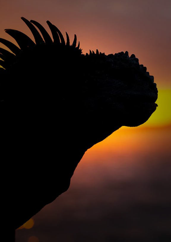 Silhouette of the head and face of a lizard in front of a faded sunset in the Galapagos Islands
