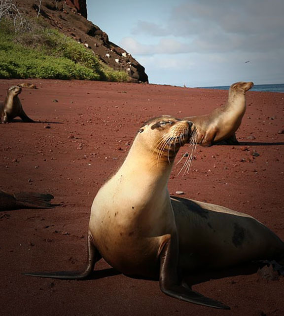 Three sea lions look into the distance as they sit upright on the sand of a Galapagos Island beach.