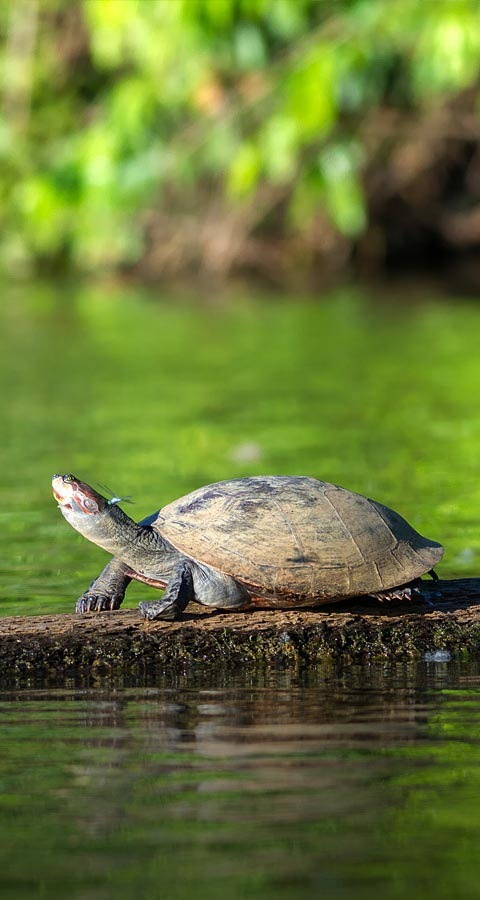 A turtle with a firefly buzzing around its head in a green-colored swamp in the Amazon Rainforest.