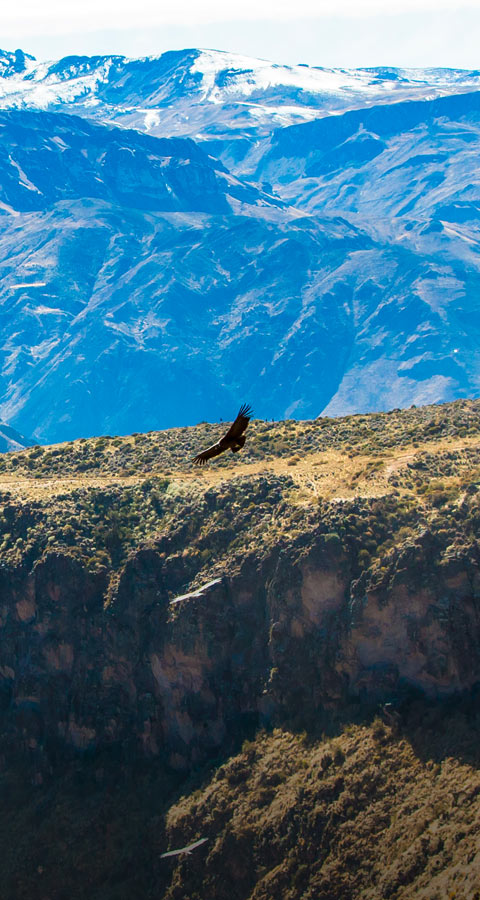 An Andean condor soaring through Arequipa's Colca Canyon, the second deepest canyon in the world.