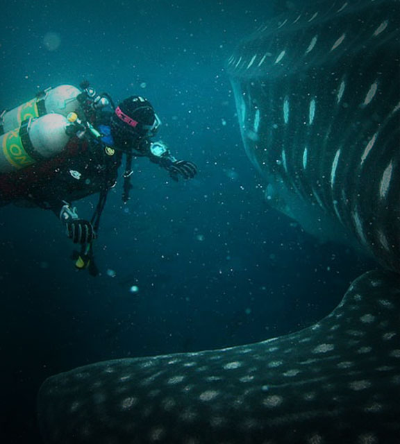 A scuba diver in the Galapagos Islands seen within feet of the fin and body of a whale shark.