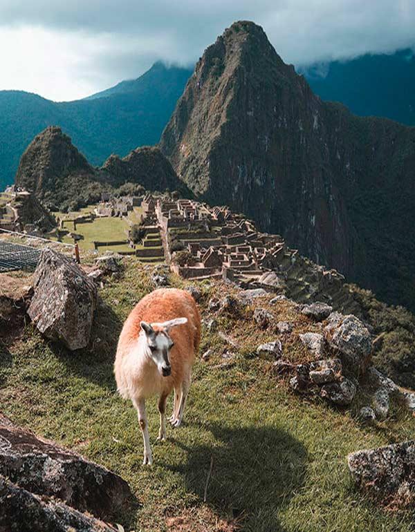 Llama in front of Machu Picchu
