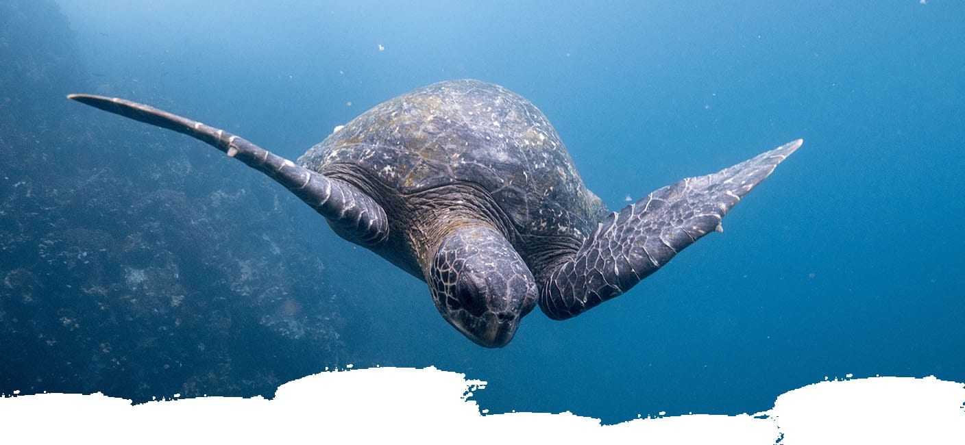 View of a turtle swimming in the Galapagos Island