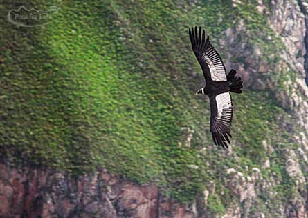 A condor with wings fully expanded flying over the Colca Canyon