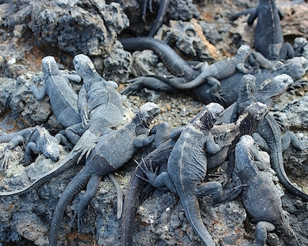Cluster of Galapagos marine iguanas on a rock