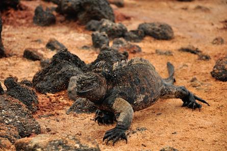Galapagos iguana walking on land