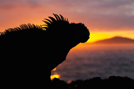 Sillohette marine iguana with Galapagos sunset.