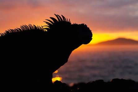 Sillohette marine iguana with Galapagos sunset.
