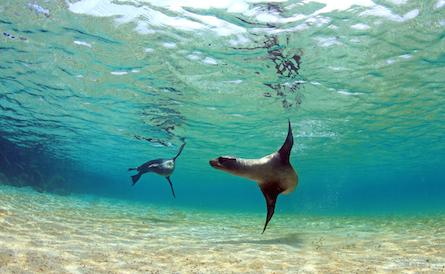 Galapagos sea lions swimming