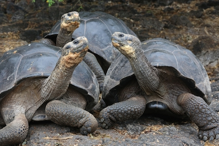 Three giant tortoises on land in the Galapagos