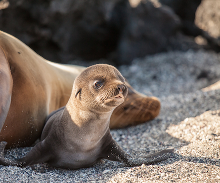 Brown baby seal pup in the Galapagos.