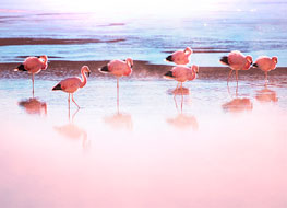 Group of pink flamingos wading in water in southern Bolivia